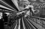 Animales tomando el metro de París